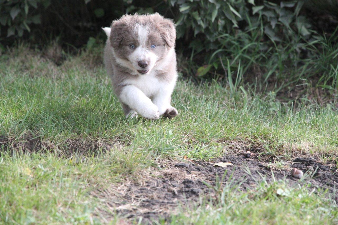 Welcome - Border Collie Puppies For Sale From J-Tail Border