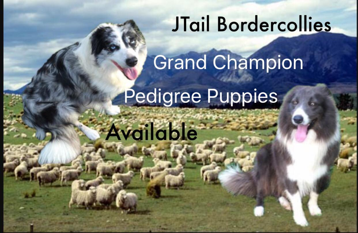 About Us Border Collie Puppies For Sale From J Tail Border