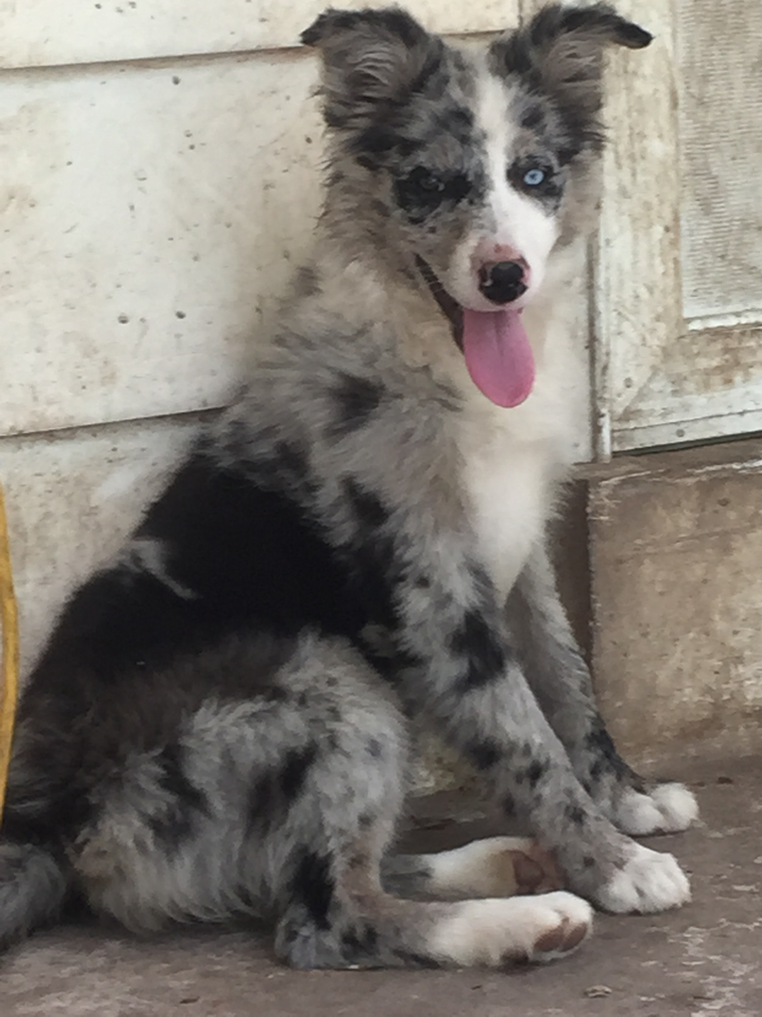 Our Pack Border Collie Puppies For Sale From J Tail Border