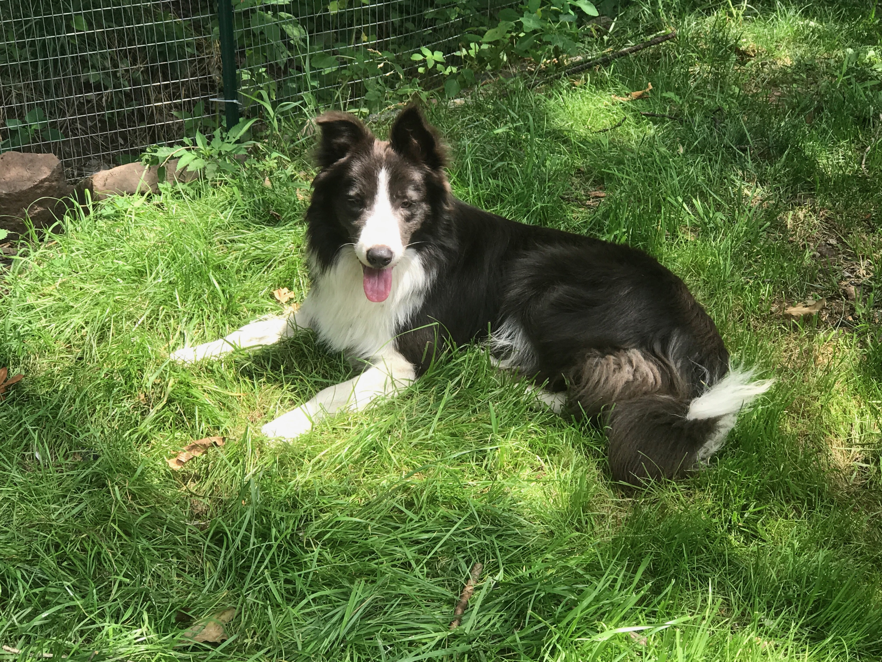 Our Pack - Border Collie Puppies For Sale From J-Tail Border